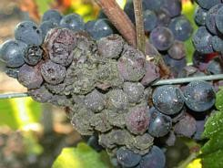Figure 2: Grapes with botrytis infection